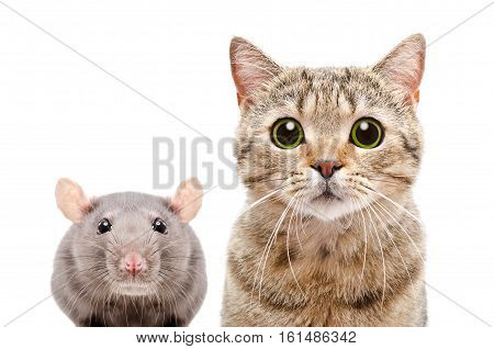 Portrait of a Scottish Straight cat and rat, closeup, isolated on white background