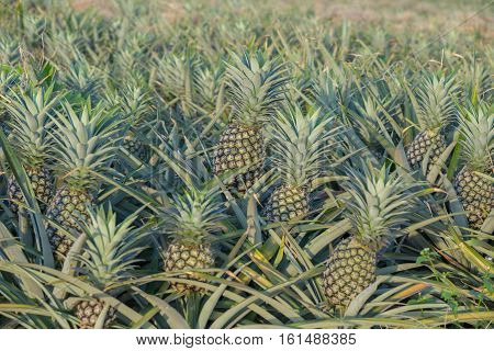 Pineapple Plant, Tropical Fruit Growing In A Farm