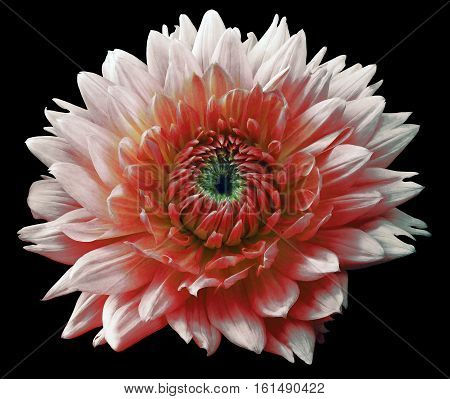 Flower red-white motley dahlia. Isolated on a black background. Close-up. without shadows. For design.