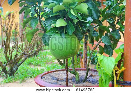 big green pomelo grows on a small tree planted in a pot, on branches of large glossy leaves, rain drops, seddoh
