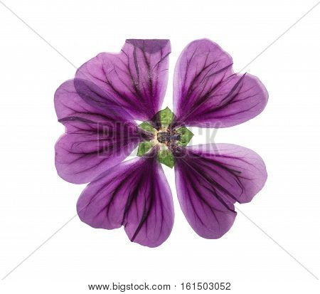 Pressed and dried flower lavatera. Isolated on white background. For use in scrapbooking floristry (oshibana) or herbarium.