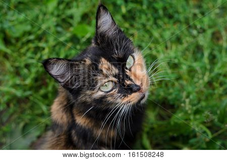 Three-color turtle witch cat with yellow eyes on background of green grass view from above
