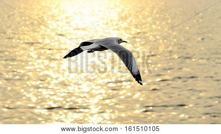 Migrate Seagull In Sunset.