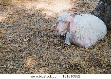 White angora goat on the straw angora sitting on ground