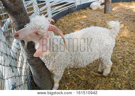 The angora goat standing on field. Cute an