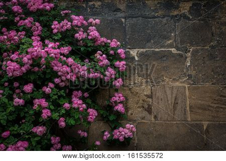 The Branches Of Rosebush Against A Stone Wall