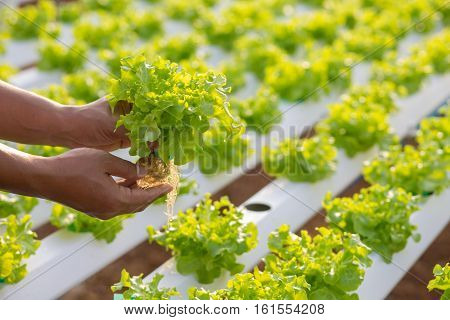 Hydroponics method of growing plants using mineral nutrient solutions in water without soil. Close up planting hand Hydroponics plant