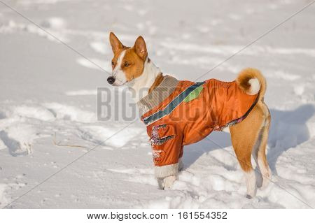Outdoor portrait of cute basenji dog wearing torn coat on fresh snow