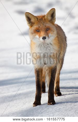 Red fox standing isolated on white natural background