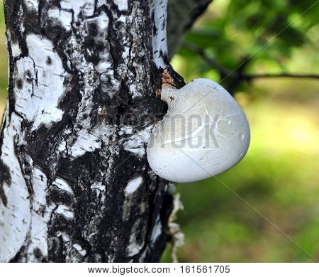 Fungus Is Parasite Grew On The Birch