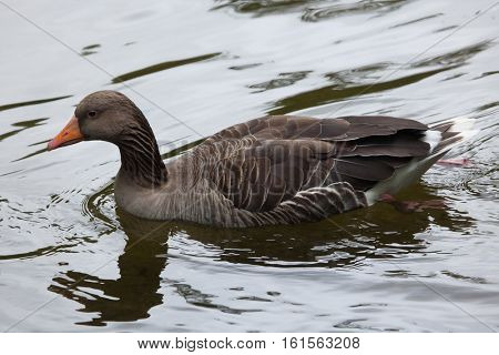 Greylag goose (Anser anser). Wildlife animal.
