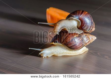 Snail albino and normal play with each other on the table