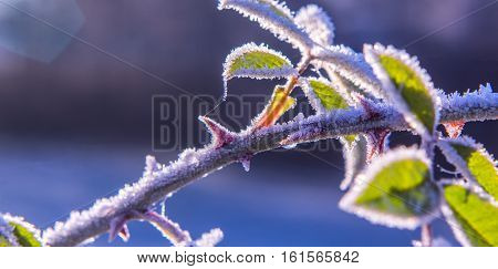 Brilliant frost crystals on rose hip shrub winter Nature details