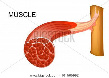 vector illustration of anatomy of the muscular fibers for medical publications