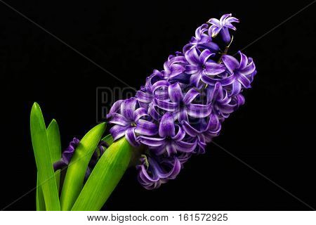 Close-up of blue pearl hyacinth flowers. Photography of nature.