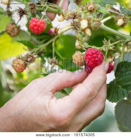 Hand plucks raspberries growing on the bush in garden