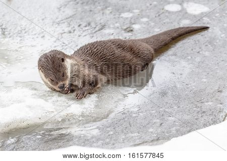 Otter Resting On Ice