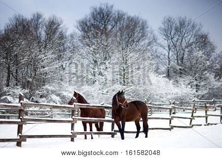 Saddle horses looking over corral fence winter rural scene. Horses waiting for riders in in a snow covered corral