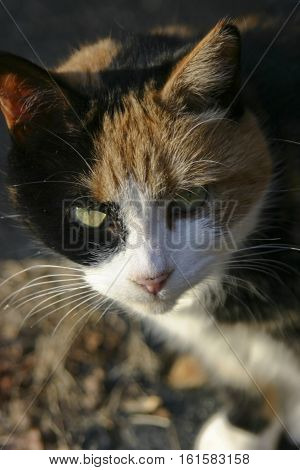 Close up of the expressive face of a beautiful calico cat camouflaged by a background of colorful autumn leaves