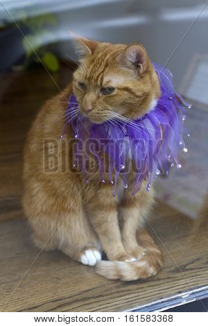 An orange tabby cat sits in a window wearing a beautiful purple sequined collar
