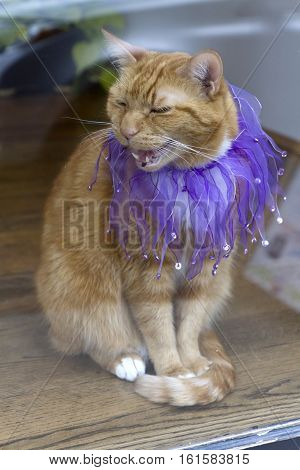 An orange tabby cat sits in a window wearing a beautiful purple sequined jester collar