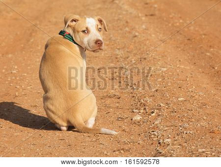 Yellow and white spotted mixed breed puppy sitting on a red dirt road, looking back at the viewer