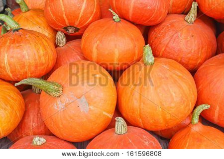 Many of the beautiful orange pumpkins lined up