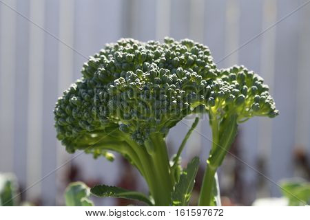 Macro Image of a Broccoli Head Growing