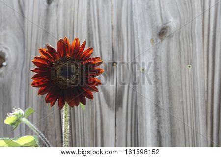 Image of a Red Moulin Rouge Sunflower