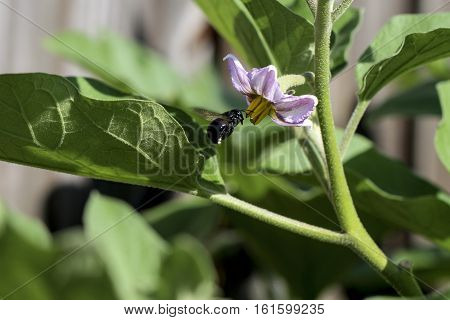 Image of Bumble Bee Flying Towards a Purple Blossom