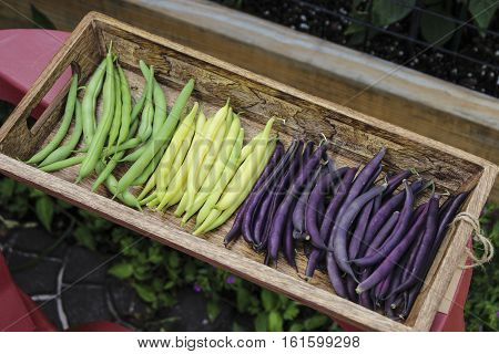 Image of Colorful Mixed String Beans Harvested