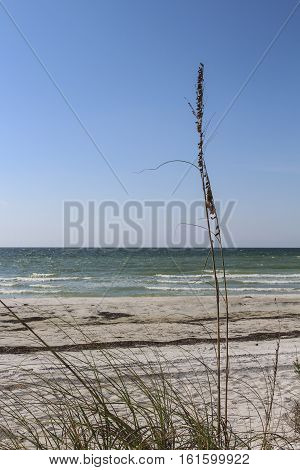 Image of a Sea Oat Ocean View
