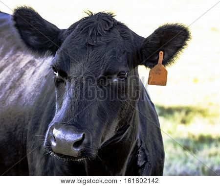 Black Angus cow face turned to the left
