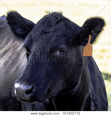 Close up of black Angus beef cow head