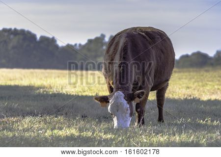 Brown and white beef brood cow grazing - low contrast
