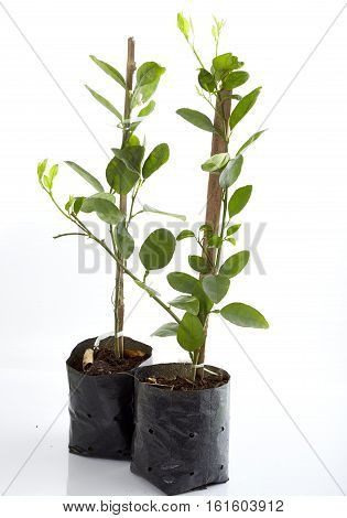 Close up young green lemon tree in plastic bag isolated on white background technique tree graft on lime tree branch in nursery bags on white background