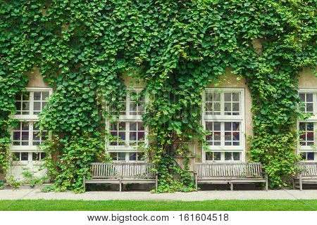 Wall of a house with window covered with green ivy leaves.
