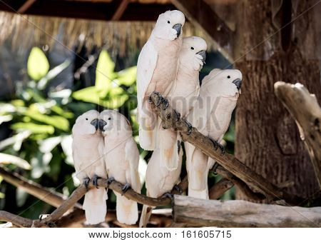 Cute salmon-crested cockatoo on branch, white salmon-crested