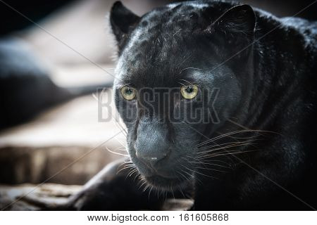 black panther on dark background,wildlife animal for background