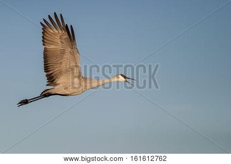 Sandhill crane flying with open beak with blue sky
