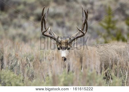 Buck Mule Deer Hiding Behind Grass In Meadow With Sagebrush In Autumn