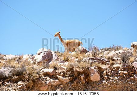 Portrait of vicuna in Jujuy province, northern Argentina.