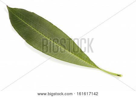 Frangipani leaf isolated on white background,alive, flora