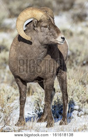 Bighorn Sheep Ram During Rut With A Little Snow On Ground In Autumn