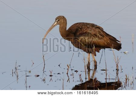 Glossy Ibis Foraging In A Shallow Pond - Florida