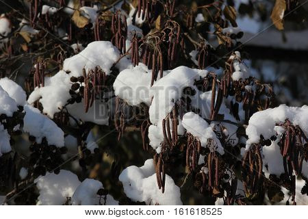 Catlins or seed pods with fresh winter snow