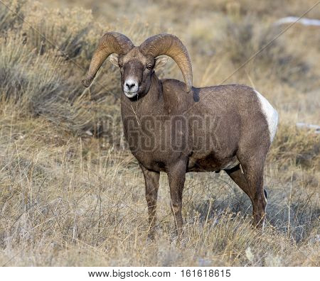 Ram Bighorn Sheep Portrait With Large Curled Horns And Little Snow In Background In Autumn