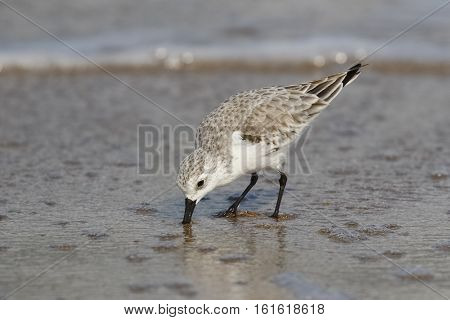 Sanderling In Winter Plumage Foraging On A Florida Beach