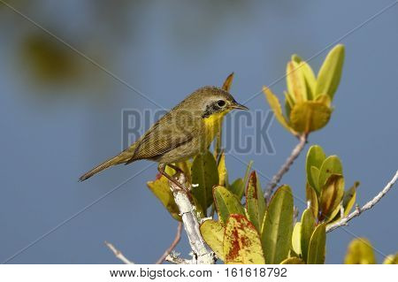 Immature Male Common Yellowthroat - Merritt Island, Florida