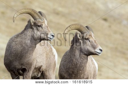 Stereo Bighorn Sheep Rams Preparing For Rut This Autumn In The Sagebrush And Grass Meadows